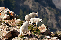 A group of northern Utah Mountain Goats stands on a cliff overlooking Willard Peak.