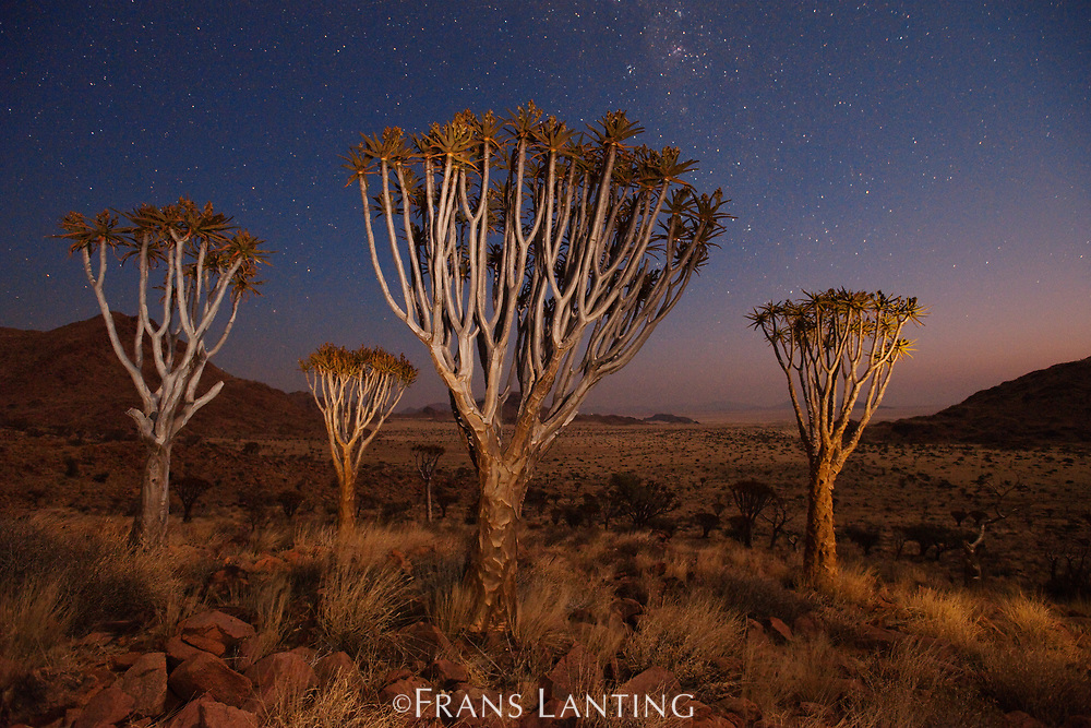 Quiver trees and starry night sky, NamibRand Nature Reserve, Namibia
