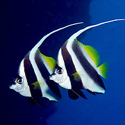 Longfin Bannerfish inhabit reefs and open water near reefs, often in pairs. Picture taken Fiji.