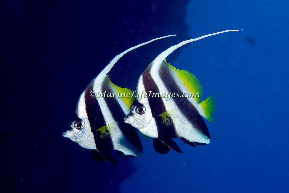 Longfin Bannerfish inhabit reefs and open water near reefs, often in pairs. Picture taken Fiji.