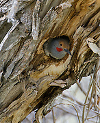 A Northern Flicker peers out a nest hole, Ucross Ranch, Wyoming