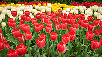 Red, white, and yellow tulips. Tulip festival at Keukenhof Gardens in Lisse, Netherlands. Image taken with a Leica X2 camera.