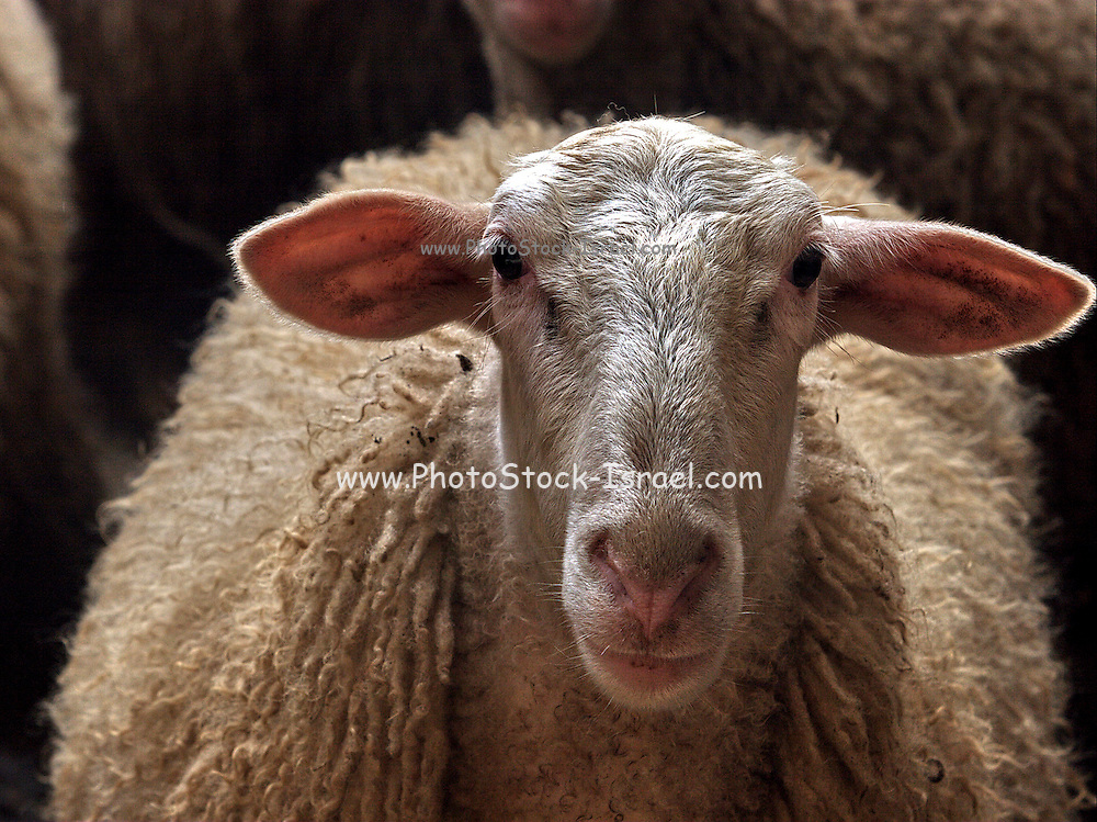 Portrait of a sheep on a farm near Nazareth Galilee Israel