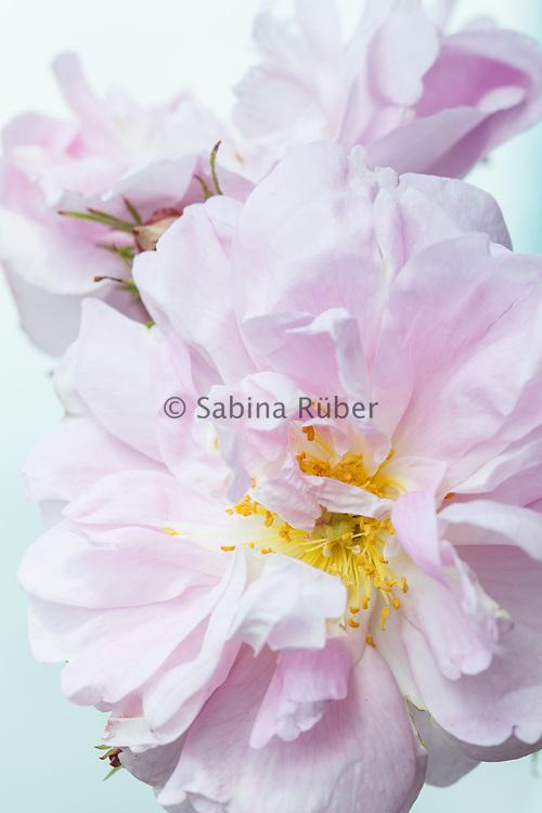 Rosa 'Amelia' - alba rose