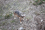 15 Febraury 2017, Civitella Alfedana - A wolf inside the wildlife area of the Apennine Wolf. A fenced area of about four hectares, where for staging points you can observe wolves in a state of semi-freedom.