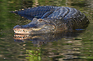 American Alligator with reflection in the water