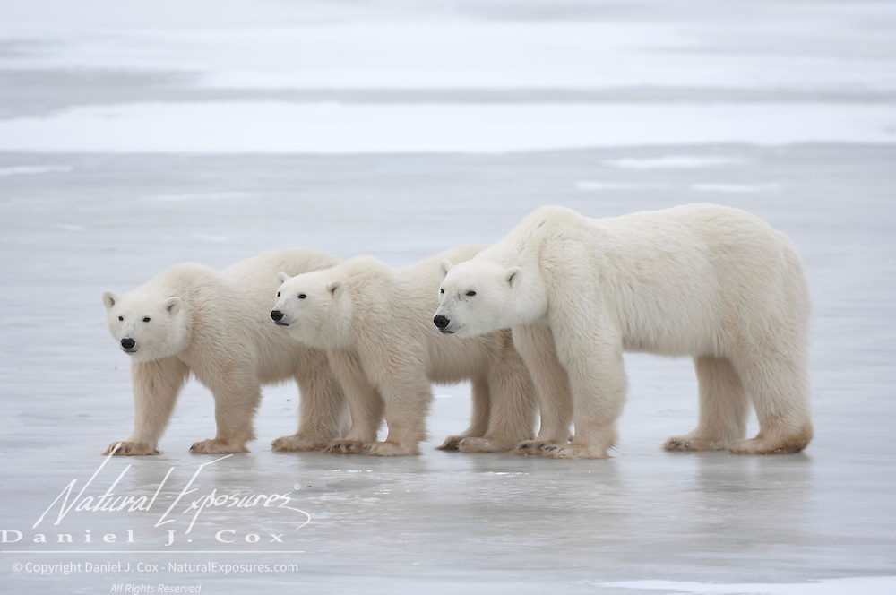 Polar Bear (Ursus maritimus) mother and cubs. Churchill, Manitoba