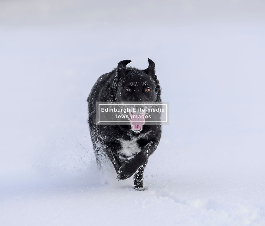 It wasn't just humans who were enjoying some fun in the snow in the midst of the severe winter weather, these dogs enjoyed playing in the snow in Ratho Station outside Edinburgh on Thursday morning.<br /> <br /> © Dave Johnston / EEm