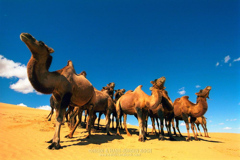 Mongolei, MNG, 2003: Kamel (Camelus bactrianus). Herde auf einer Sanddüne in der südlichen Gobi. Kamele haben kein Problem damit, im Sand einzusinken aufgrund ihrer weit gespreizten Zehen. | Mongolia, MNG, 2003: Camel, Camelus bactrianus, herd on a sand dune, they have no problems with sinking in the sand because of their wide spread toes, South Gobi. |