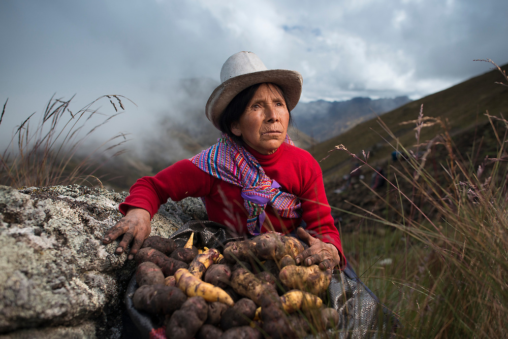 Potato harvest in the High Andes of Peru.