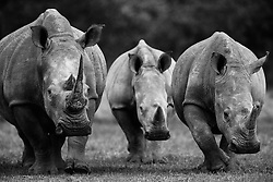 A black and white portrait of three white rhinoceros (Ceratotherium simum) walking,front view, The Aberdares, Kenya,Africa