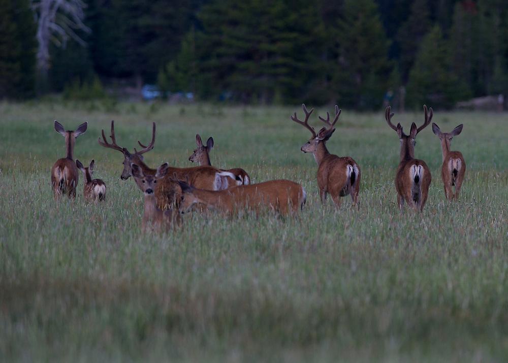 Mule deer bucks feed in a open meadow shortly after sunset.