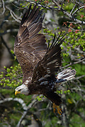 Bald eagle taking flight after an afternoon fish snack, Somes Harbor, Mount Desert Island, Maine