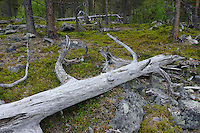 Old-growth pine forest, (Pinus silvestrtis), Stora Sjöfallet National Park, Laponia UNESCO World Heritage Site, Greater Laponia rewilding area, Lapland, Norrbotten, Sweden