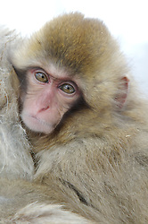 A baby snow monkey looks past the camera while holding on to its mother in Japan.