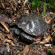 The Asian forest tortoise (Manouria emys), also known as the Asian brown tortoise, is a species of tortoise endemic to Southeast Asia. It is believed to be among the most primitive of living tortoises. The Asian forest tortoise is the largest tortoise in mainland Asia.