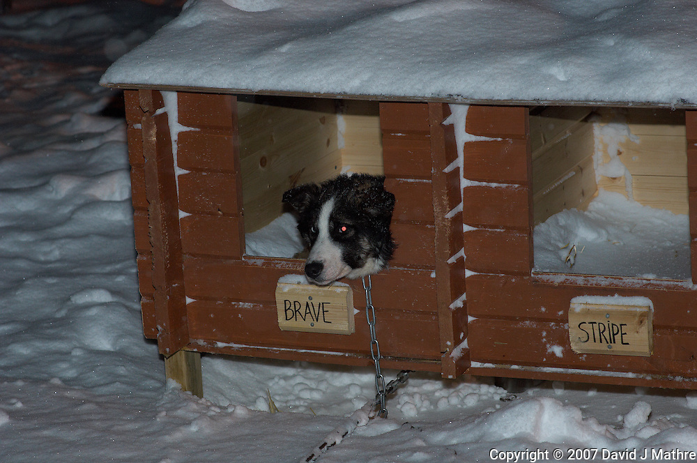 Brave Staying Warm. He was Not Included in the Dog Sled Ride.  Image taken with a Nikon D2xs and 85 mm f/1.4 lens (ISO 200, 85 mm, f/4.8, 1/60 sec)..
