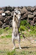 Udo, a small Island near Jeju-do. A huskey eagerly awaiting his food.