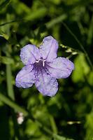 Violet Ruellia (Ruellia nudiflora), Travis County, Texas