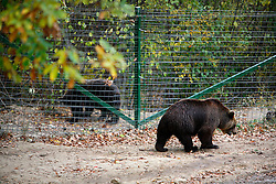 ROMANIA ZARNESTI 27OCT12 - Rescued Eurasian brown bear Jimmy and another bear from a neighbouring enclosure at the Zarnesti Bear Sanctuary in Romania, funded by WSPA...With over 160 acres (70 hectares) spread over a wooded hillside, it is Romania's first bear sanctuary and today houses 67 bears rescued from ramshackle zoos and cages at roadside restaurants.......jre/Photo by Jiri Rezac / WSPA..© Jiri Rezac 2012