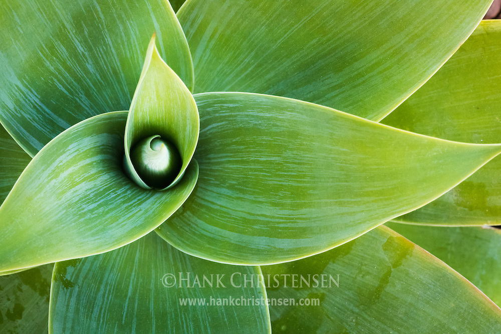 A green succulent forms teardrop patterns