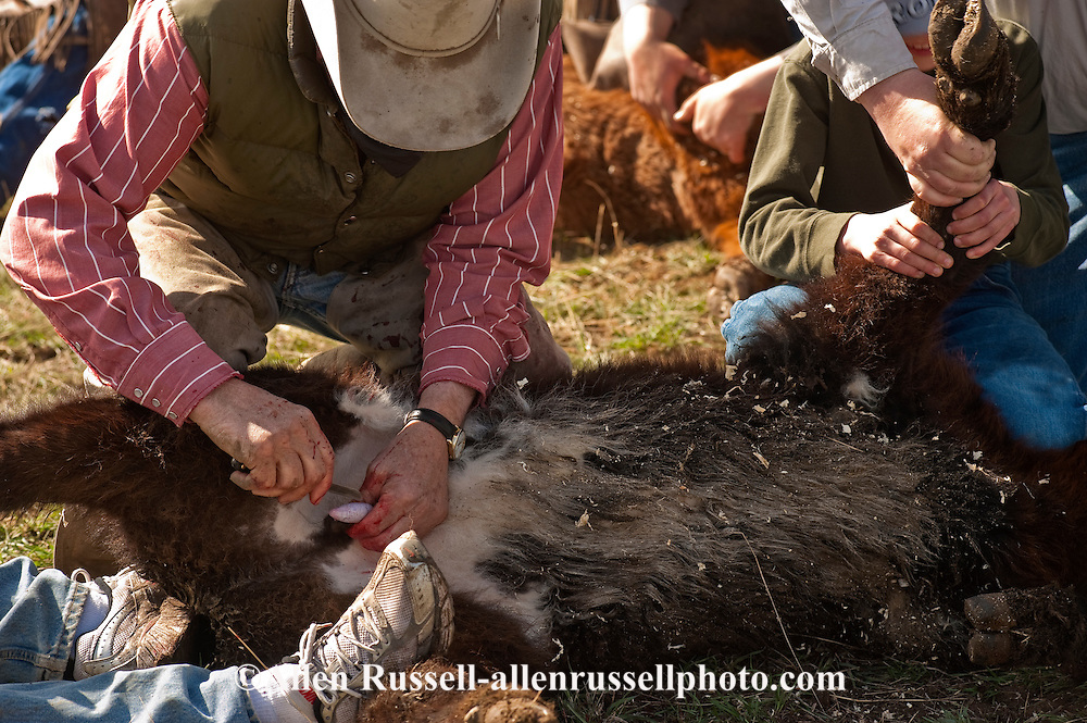 Cowboys wrestles calf at branding as it is castrated, Wilsall, Montana