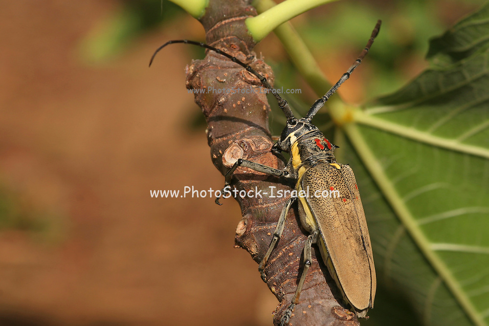 Batocera rufomaculata a insect causing major damage to Fig and mango plantations