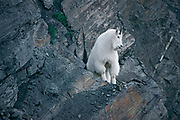 Rocky Mountain goat (Oreamnos americanus) on steep mountain side<br />Glacier National Park<br />British Columbia<br />Canada