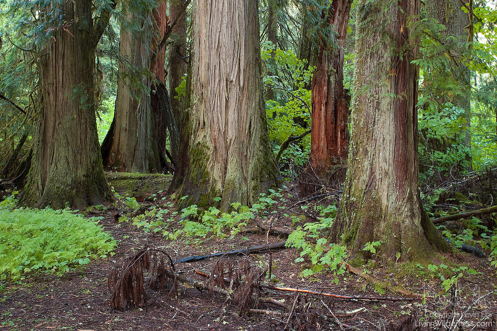 Several ancient trees, each several hundred years old, stand in the Grove of the Patriarchs, a section of very old forest in Mount Rainier National Park, Washington.
