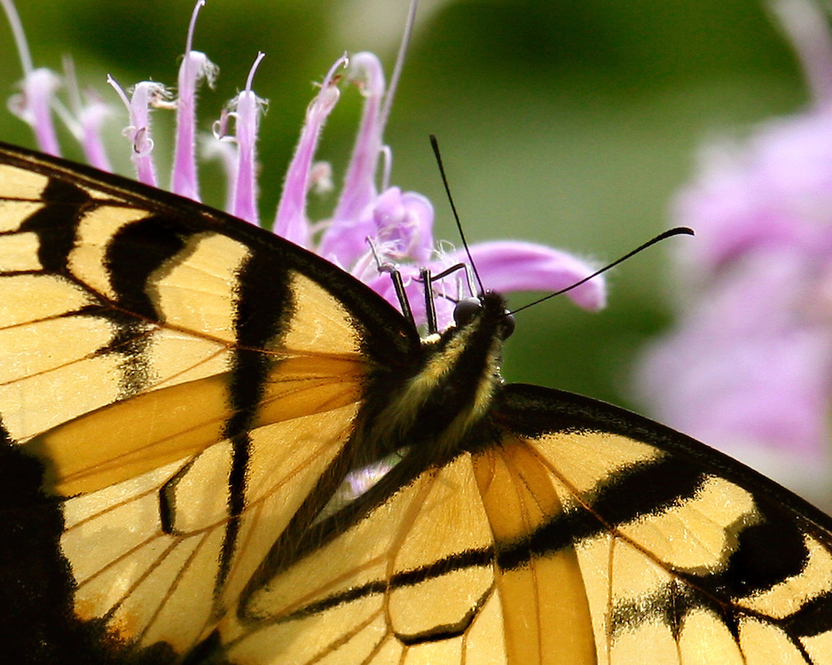 A yellow swallow tailed butterfly near the Washington Avenue entrance.