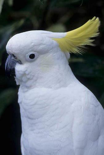 Sulphur-crested Cockatoo (Cacatua galerita) Eastern Australia.
