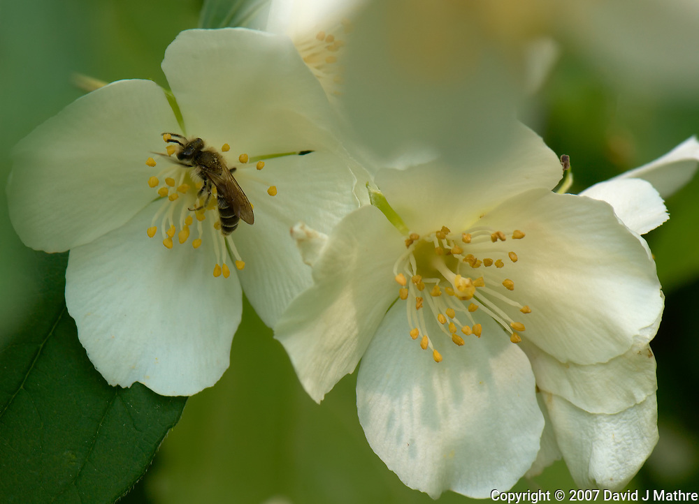 Bee on wild raspberry flowers. Backyard spring nature in New Jersey. Image taken with a Nikon D2xs camera and 105 mm f/2.8 VR macro lens (ISO 100, 105 mm, f/11, 1/60 sec).