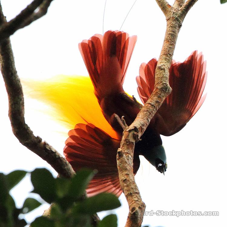 Greater Bird-of-Paradise, Paradisaea apoda, Papua New Guinea, by Marcus Lilje