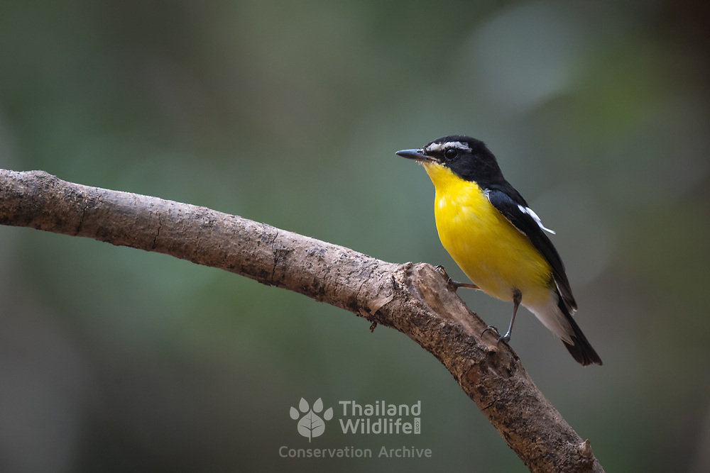 The yellow-rumped flycatcher, Korean flycatcher or tricolor flycatcher (Ficedula zanthopygia) is a species of flycatcher found in Asia. A distinctive species with almost no look-alike other than the narcissus flycatcher. It breeds in eastern Asia including parts of Mongolia, Transbaikal, southern China, Korea and western Japan. They winter in parts of Thailand.