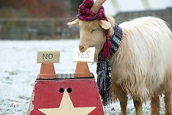 """Boots the fortune telling goat gives their predictions for 2017, at Lanton Hill Farm, Jedburgh. Prediction for """"Willl Scotland have a white Xmas""""."""