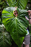 Face in giant tropical leaf. The exquisite Hawaii Tropical Botanical Garden near Hilo is my favorite garden in the Hawaiian Islands! Delightful paths and boardwalks take you through a soothing green tropical wonderland endowed with streams (Alakahi Stream, Boulder Creek), waterfalls (Onomea Falls) and oceanfront vistas across Onomea Bay. Purchased in 1977 and transformed over 8 backbreaking years by Dan and Pauline Lutkenhouse, the garden opened to the public in 1984 and was donated to a nonprofit trust in 1995. On the Big Island, a few minutes north of Hilo off of Route 19, take the narrow four-mile Pepe'ekeo Scenic Drive which winds along coastal cliffs, across one-lane wooden bridges over picturesque waterfalls, to reach this peaceful oasis. The garden grows over 2000 plant species, representing more than 125 families and 750 genera, with diverse palms (nearly 200 species), heliconias (80+ species) and bromeliads (80+ species). Address: 27-717 Old Mamalahoa Highway, Papaikou, HI 96781, USA. For this photo's licensing options, please inquire.