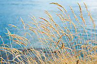Closeup of wild grass near water&#xA;<br />