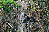 Two Dusky Leaf Monkey (Trachypithecus obscurus) sit below the canopy in Kaeng Krachan National Park, Thailand.