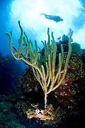 A diver is silhouetted by clouds over top of a soft coral on the wall near Roatan, Honduras.