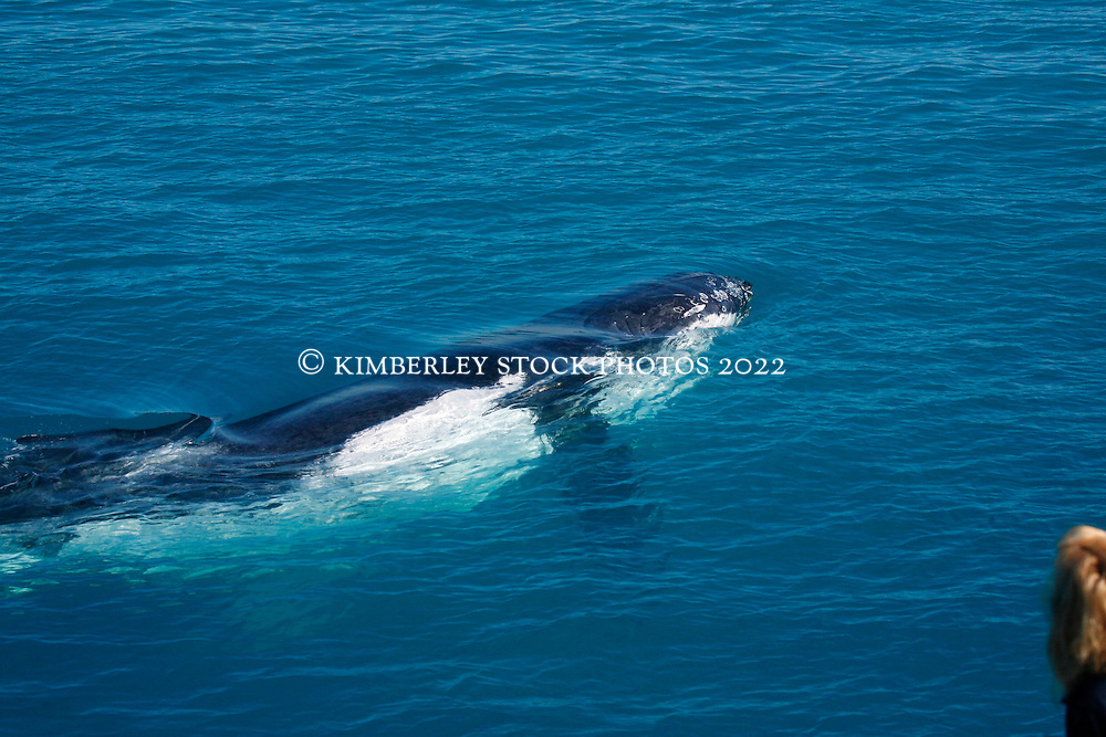 A passenger on a charter boat watches as a juvenile humbpack whale approaches the boat.