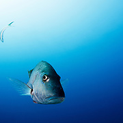 Snapper fish on stark blue background.
