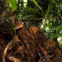 Nauyaca (Bothrops asper) found under the moist forest of El Triunfo Reserve, Chiapas, Mexico