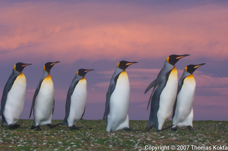 Emperor Penguins at Sunset