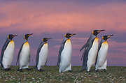 Emperor Penguins at Sunset