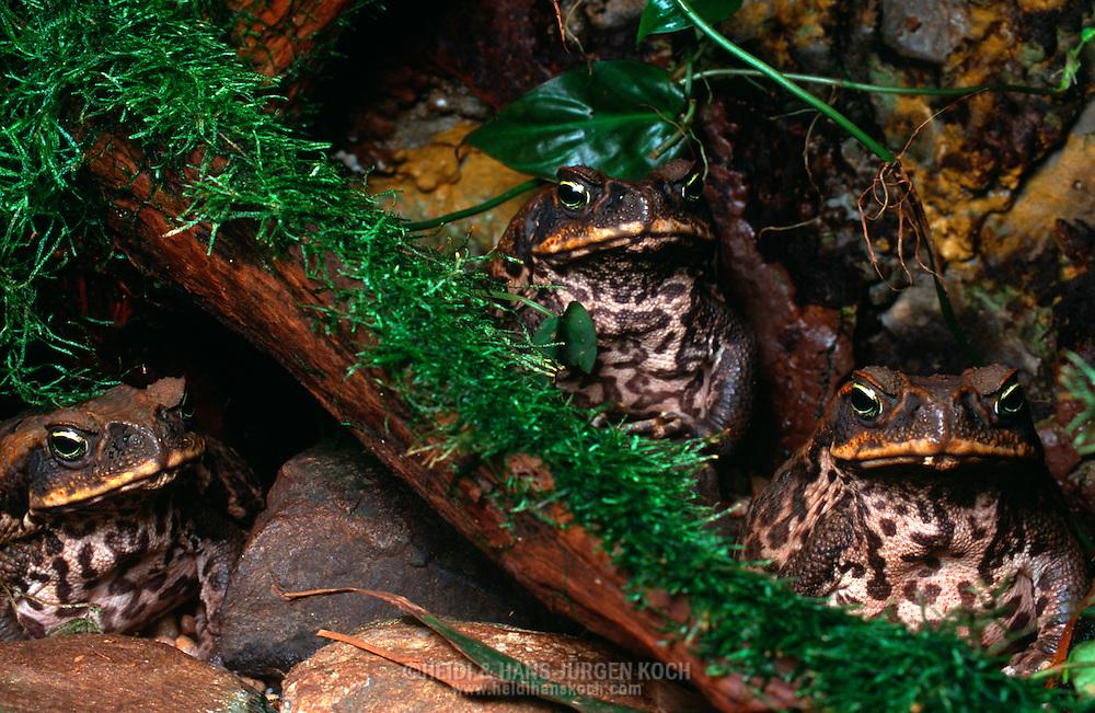 DEU, Deutschland: Aga-Kröte (Bufo marinus), drei Aga-Kröten in ihrem nachgebildeten Habitat, stammt ursprünglich aus Mittel- und Südamerika, besitzt eine hohe Anpassungsfähigkeit an verschiedene Lebensräume, dazu sehr gefräßig, schon vor hundert Jahren wurde versucht sie als biologische Waffe zur Schädlingsbekämpfung einzusetzten, dadurch weite Verbreitung z.B. Karibik, Hawai, Australien und wird dort selbst zur Plage | DEU, Germany: Cane Toad (Bufo marinus), three cane toads in theire reproduced habitat, origin: Central and South America, adaptable species in different habitats, voracious appetite, already 100 years before has been introduced to many regions of Caribbean islands, Hawaii and Australia as a method of agricultural pest control, itself is now considered a pest in many of its introduced regions |