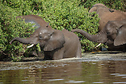 Elephants eating