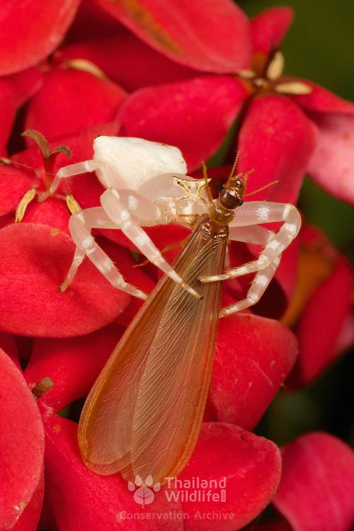 Thomisidae sp, white crab spider