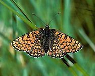 Glanville Fritillary Mellitaea cinxia Wingspan 40mm. A beautifully marked butterfly that is active only in sunshine; remains concealed in cover on overcast days. Adult has orange-brown upperwings; underwings are creamy-white and orange-buff. Flies May–June. Larva is black and bristly, with a red head; feeds gregariously on Sea Plantain. Very locally common on undercliffs on Isle of Wight and south Hampshire.