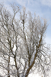 Twisted willow in winter snow. Salix babylonica var pekinensis 'Tortuosa'