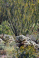 Ocotillo and Cholla Cactus, with fresh spring growth amid Brittlebush and other wildflowers in the  Anza-Borrego Desert, California, USA